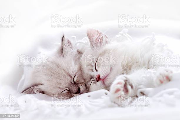 Two white kitten sleeping together picture id171305062?b=1&k=6&m=171305062&s=612x612&h=xbv6ovdkkuqt8xoavsqwnheppauy8yillsrftrfc 9a=