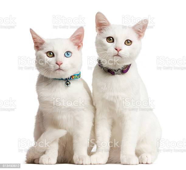 Two white kittens siting in front of a white background picture id513493612?b=1&k=6&m=513493612&s=612x612&h=n31agpdvpuyypxb im ohe59qussjwq32nlajslonfs=