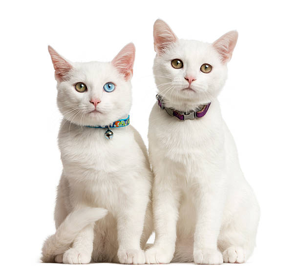 two white kittens siting in front of a white background - 衣領 個照片及圖片檔