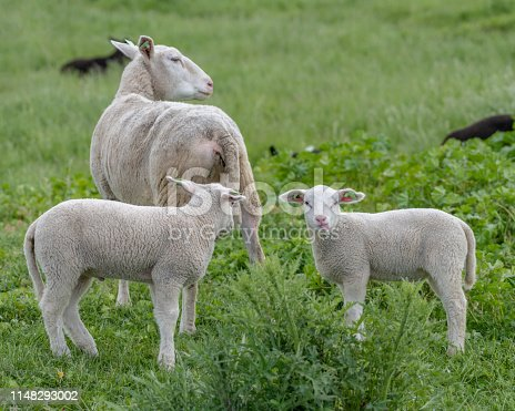 Two white lambs with its mother in a green field. one lamb sticks its tongue out at the camera man and enjoying the outside nature in the sun