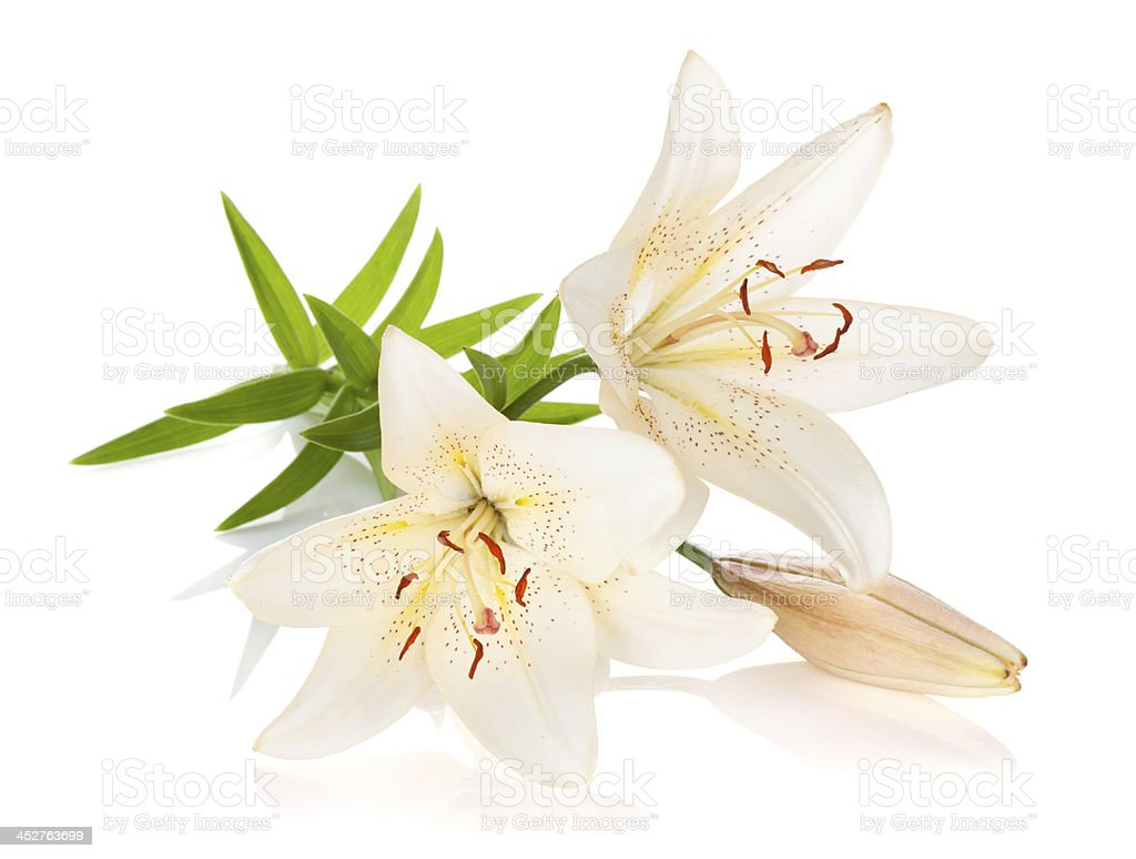 White lily flower information choice image beautiful exotic flowers two white lily flowers stock photo more pictures of beauty in izmirmasajfo
