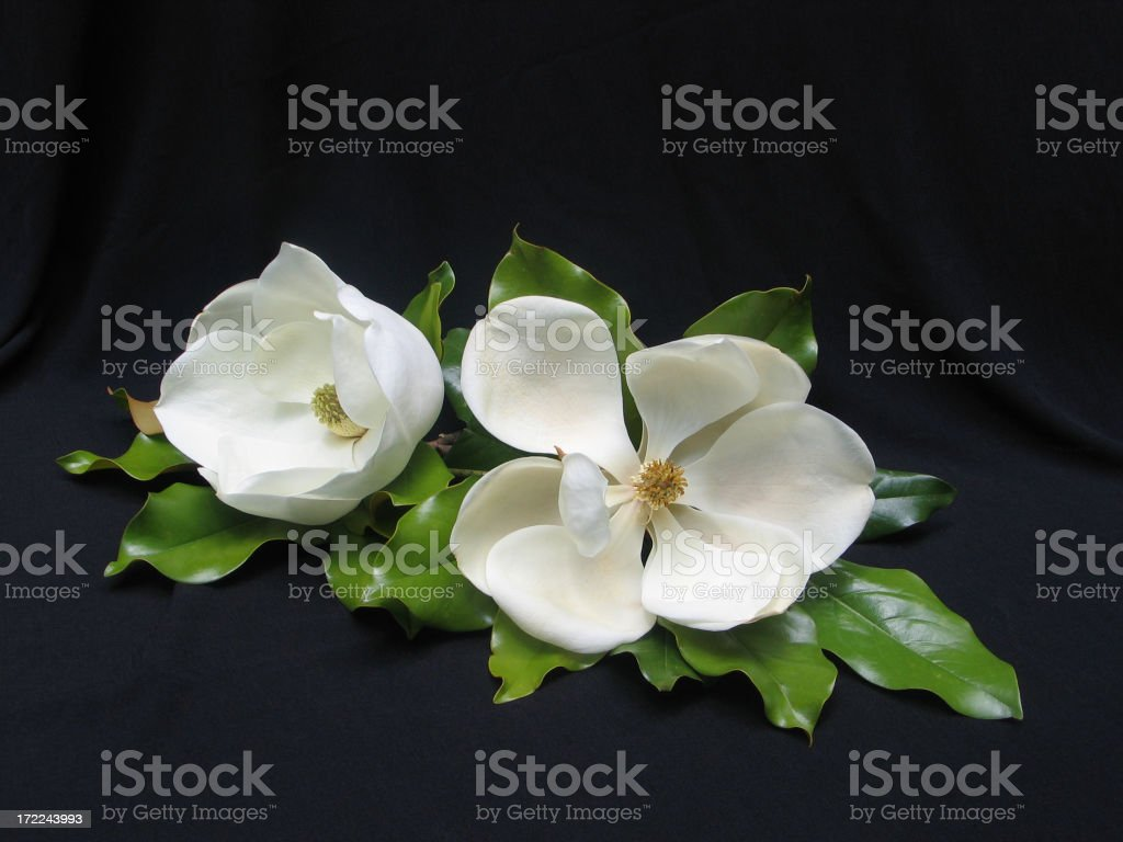 Two White Magnolias royalty-free stock photo