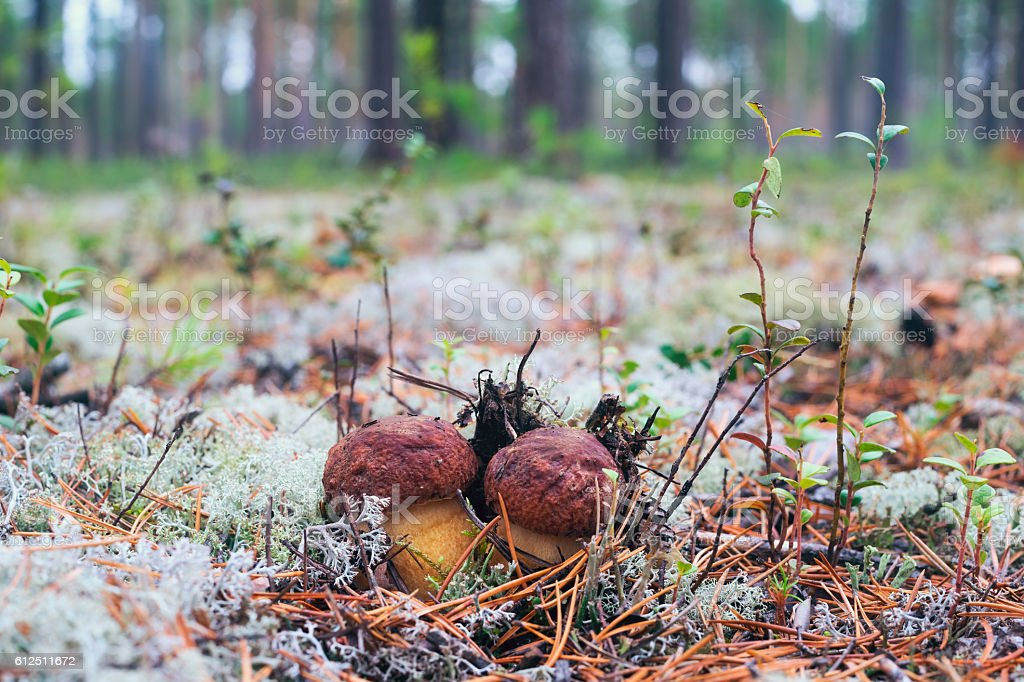 Two white mushroom peeking out from under the moss stock photo