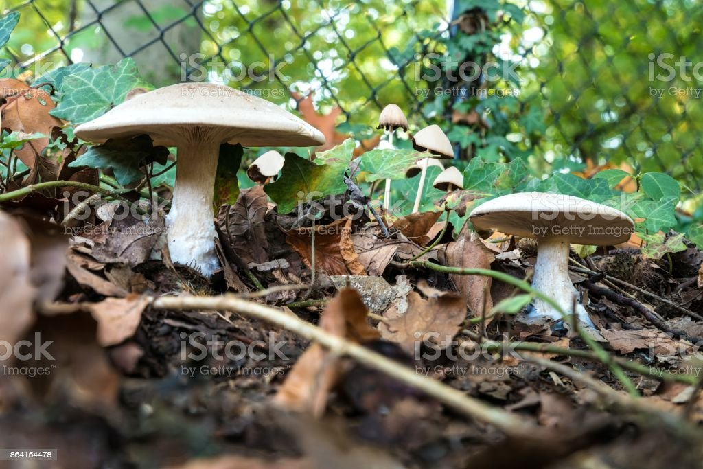 Two white mushrooms against a fence royalty-free stock photo