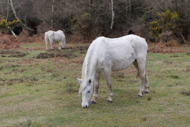 two white new forest ponies grazing - whiteway pony stock photos and pictures