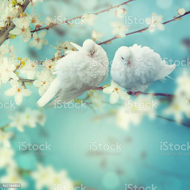 Two white pigeon on flowering background picture id542184804?b=1&k=6&m=542184804&s=612x612&h=ybji22kyioxha6uhcrvbl ynjacy 9yk8dhf5tswwko=