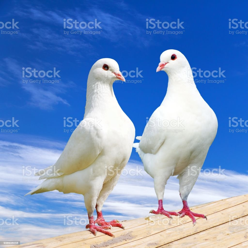 Two white pigeon on perch with beautiful sky stock photo