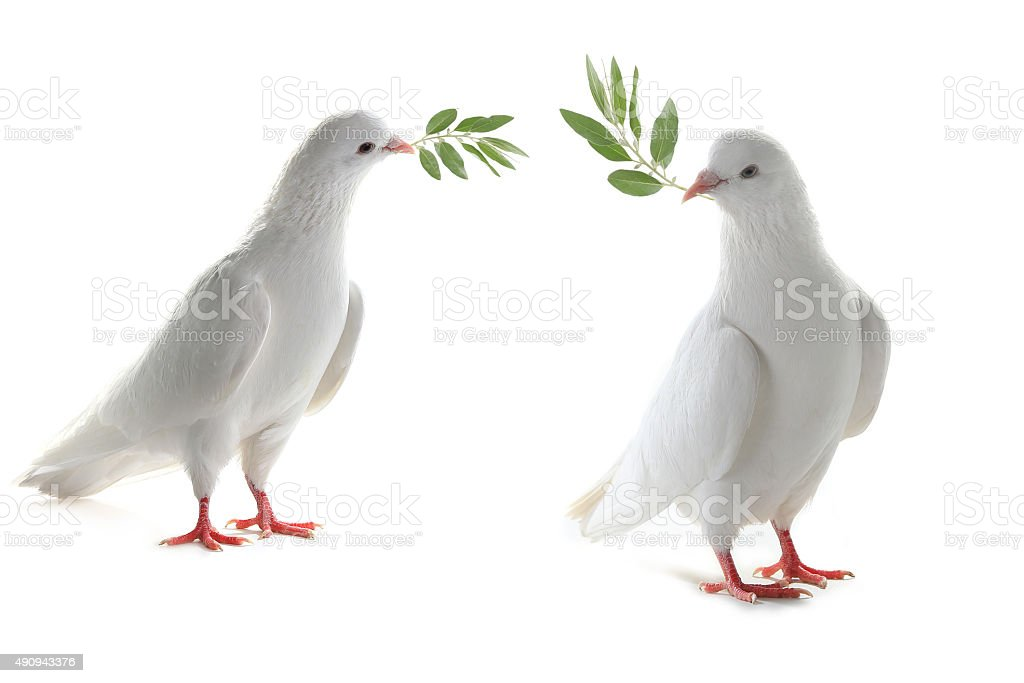 two white pigeon stock photo