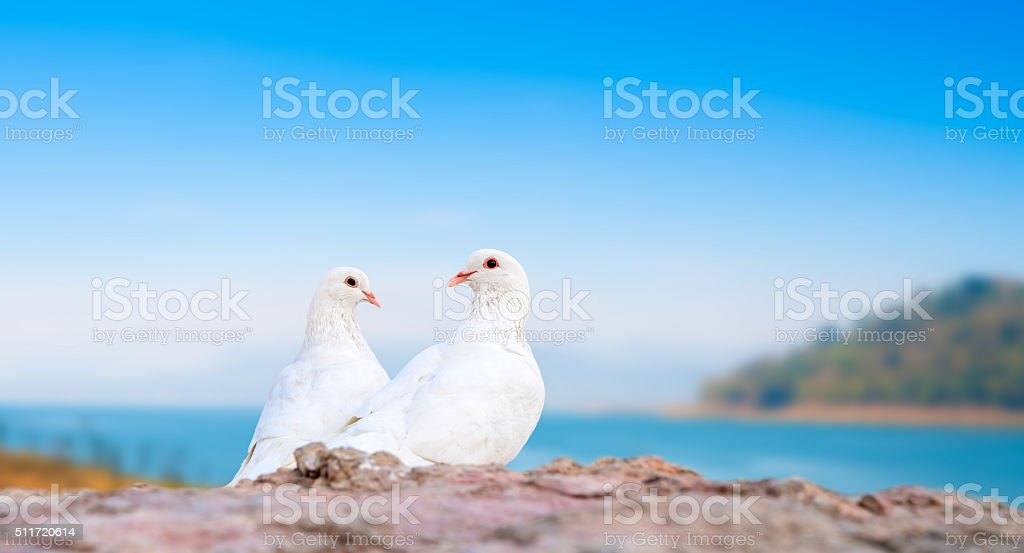 two white pigeons on perch stock photo