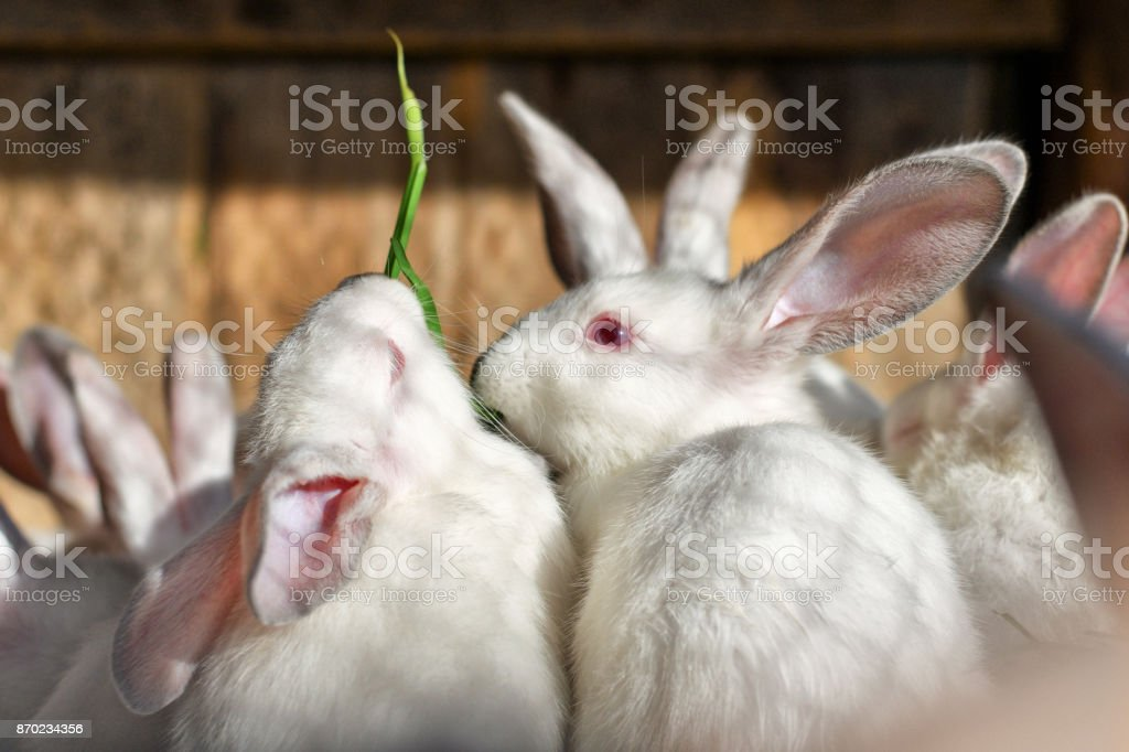 Two white rabbits eat green juicy grass in a cage. stock photo