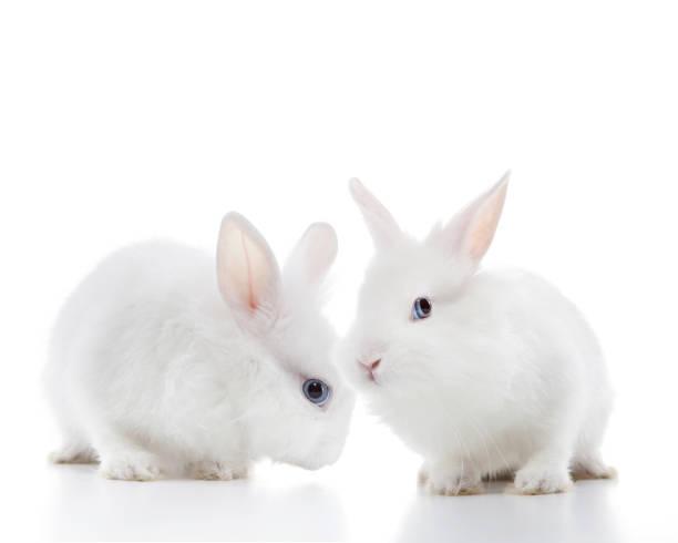 Two white rabbits stock photo