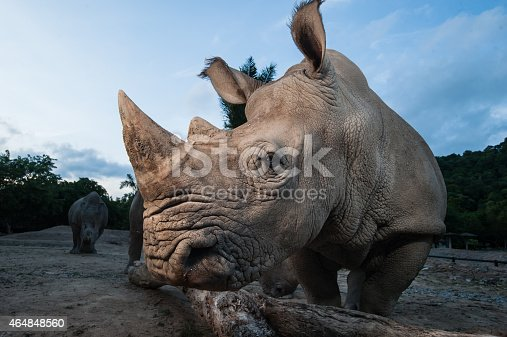 Two white rhino are close up in twilight