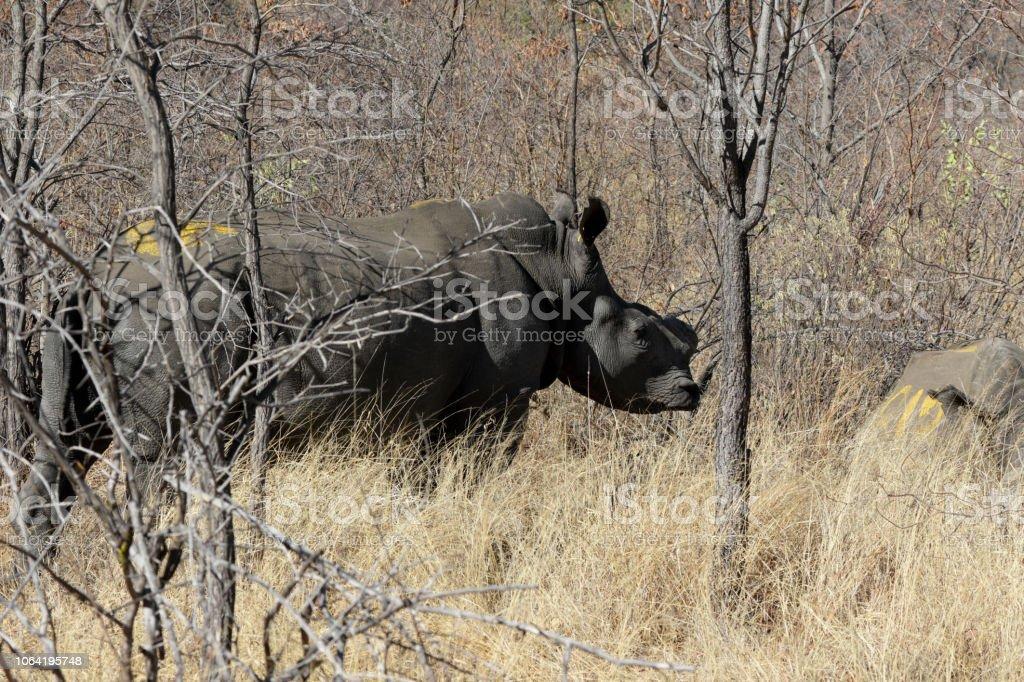 Two white rhinoceros Ceratotherium simum Zimbabwe stock photo