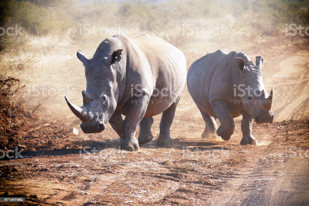 Two white rhinoceros running and making dust in the Madikwe Game Reserve in South Africa stock photo