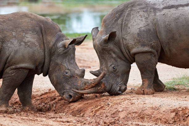 Two white rhinos playing with each other stock photo