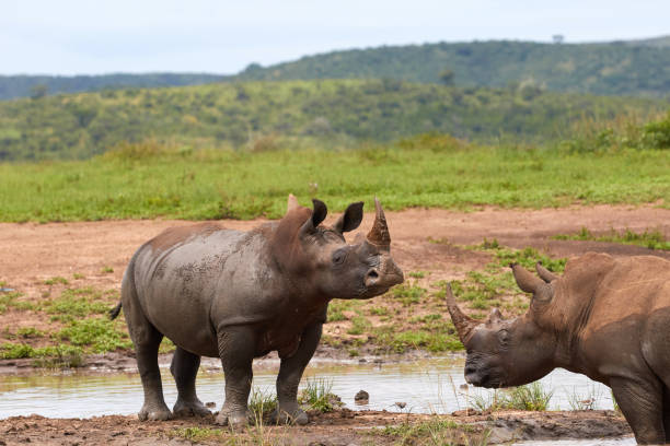 Two white rhinos standing in the water stock photo