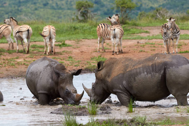 Two white rhinos with zebras in the background stock photo