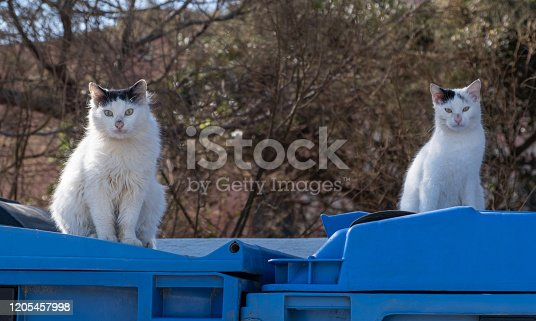 istock Two white stray kitties are sitting on blue rubbish bins in front of dry tree branches. Blur winter nature background. 1205457998
