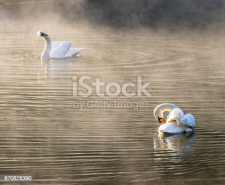 istock Two white swan cleaning body 870828390