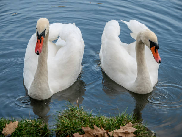 Two white swans heart water scene. White swans love scene. True love two swans – zdjęcie