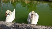 Two white swans on a lake. Swan on the lake close up. White swan in the pond of the city park. Swan in the pond.