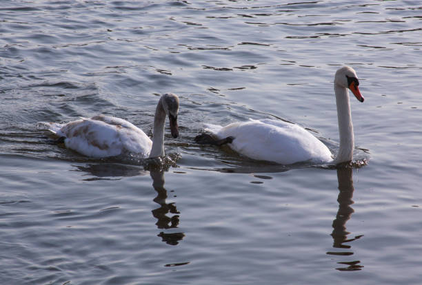 Two white swans on river surface in the city stock photo