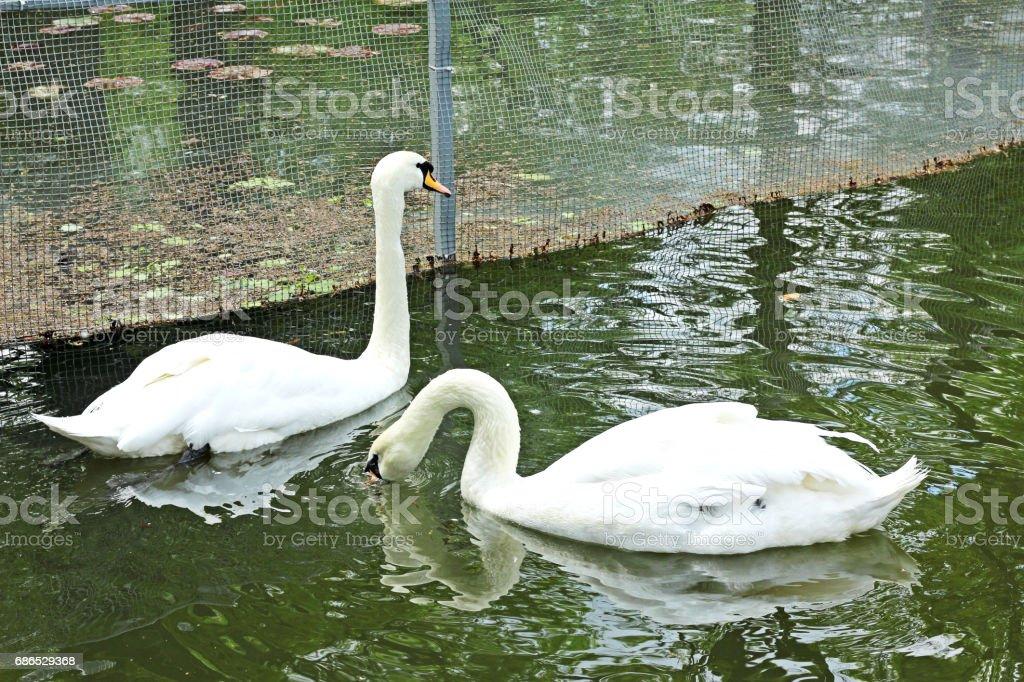 Two white swans. foto stock royalty-free