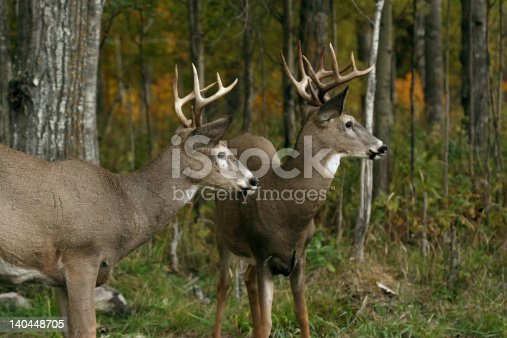 two white tail deer resting after a battle for leadership