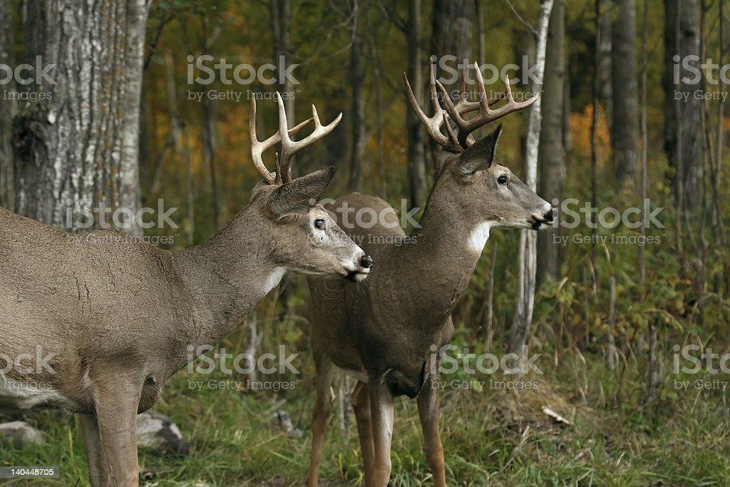 two white tail deer bucks stock photo
