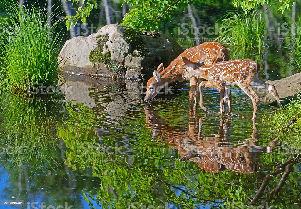 Two white tailed deer fawns reflections in clear water. stock photo