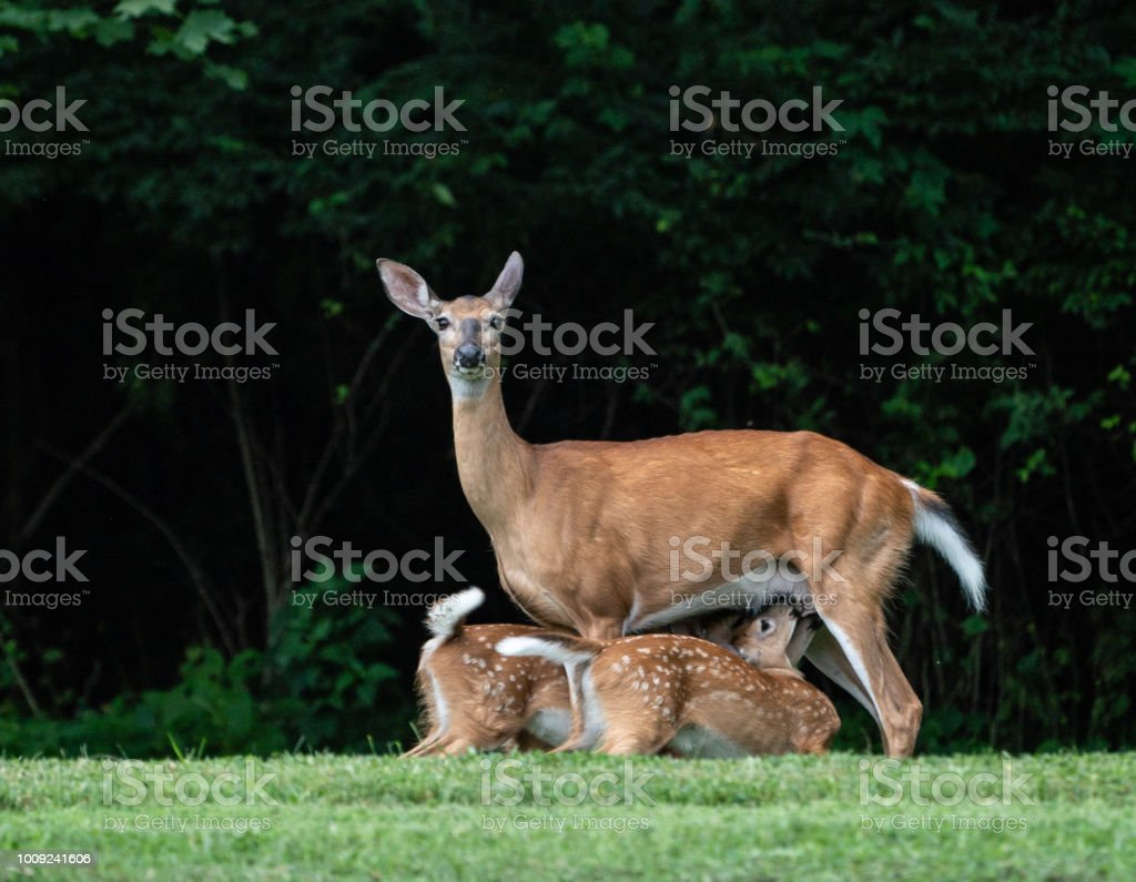 Two white tailed deer fawns with mother in a field in Pennsylvania. stock photo