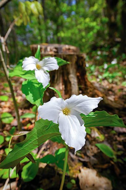 Two White Trilliums stock photo