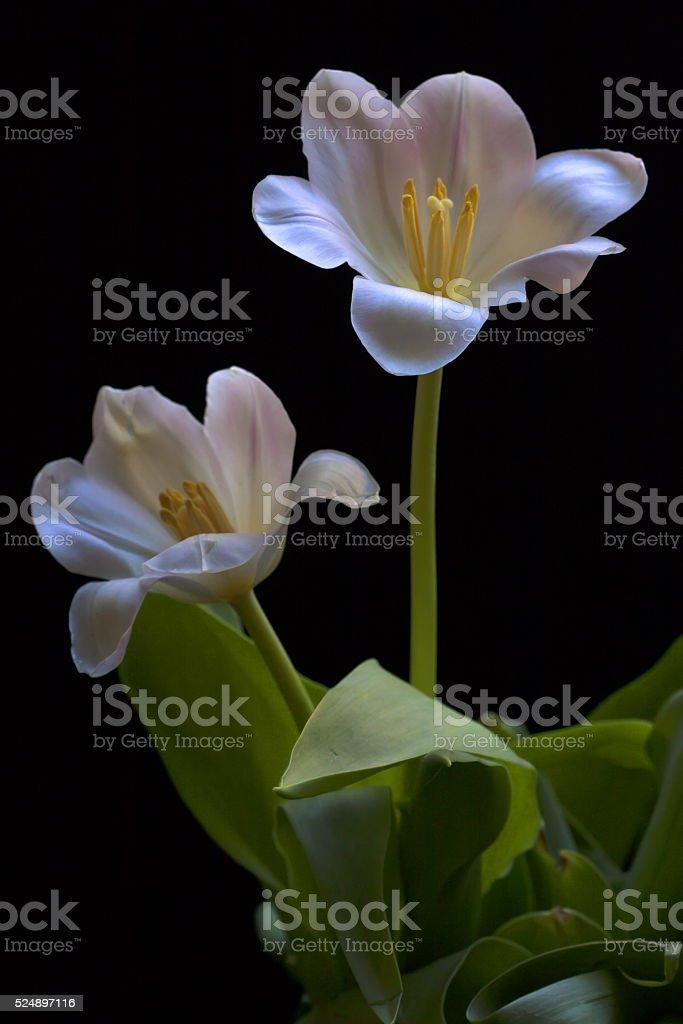 Two White Tulips stock photo