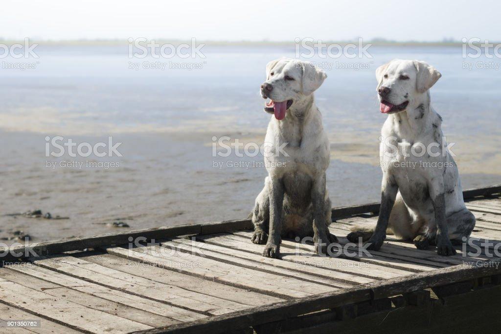 Zwei weiße junge Labrador Retriever Hundewelpen am sonnigen Strand – Foto