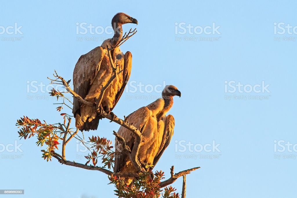 Two white-backed vultures stock photo