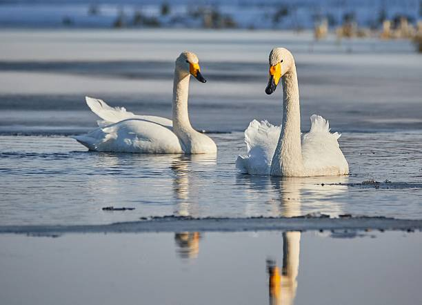 Two whooper swans swimming stock photo