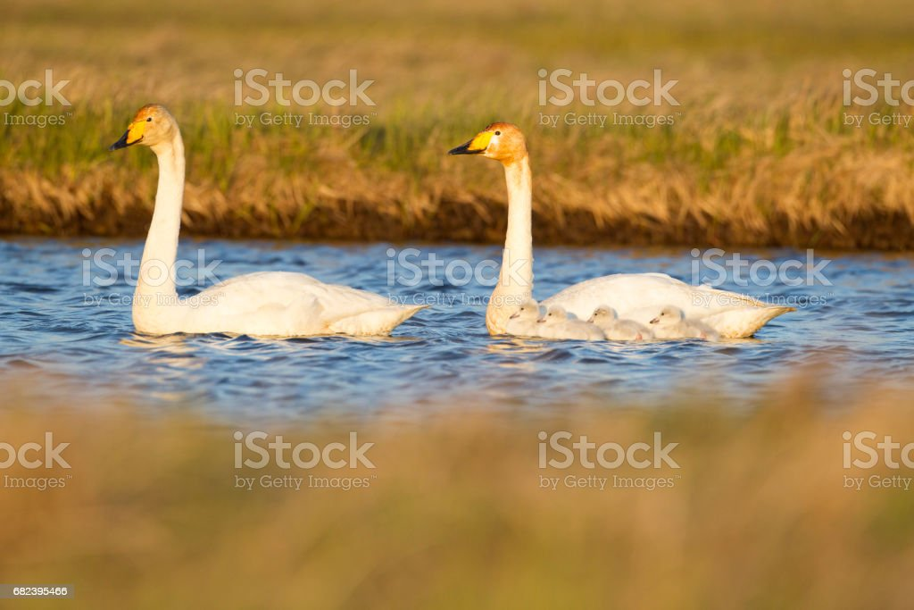 Two Whooper Swans, Swimming Together. royalty-free stock photo