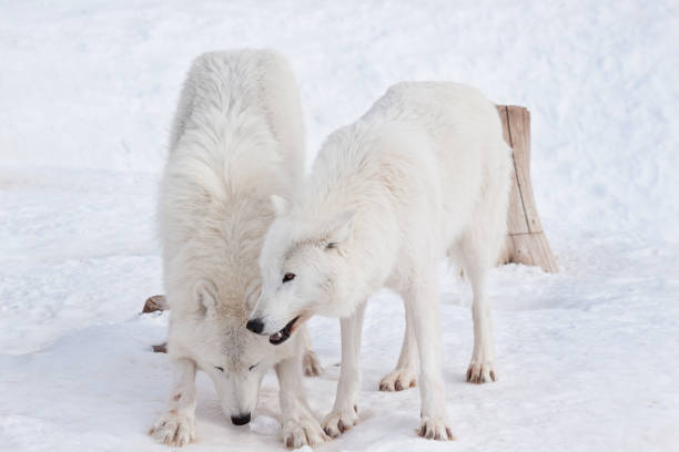 Two wild arctic wolf are playing on white snow. Animals in wildlife. Polar wolf or white wolf. stock photo