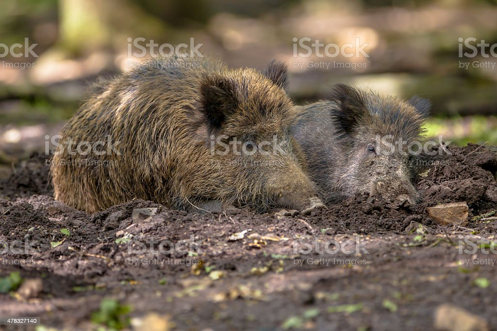 Two Wild Boar stock photo