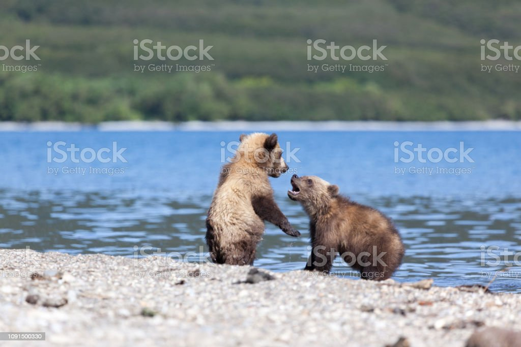 Two wild brown bear cubs play by the lake in Kamchatka in Russia....