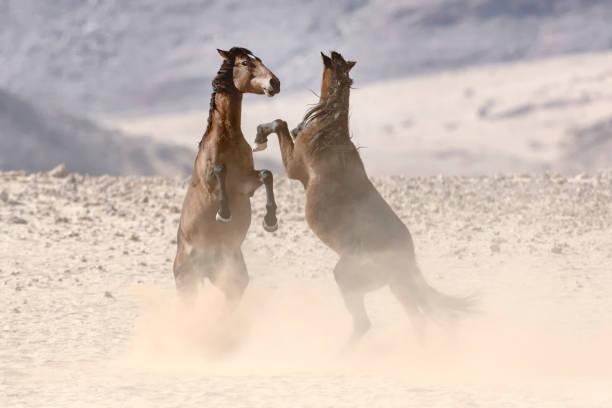 two wild desert horses fighting - namib wüste stock-fotos und bilder