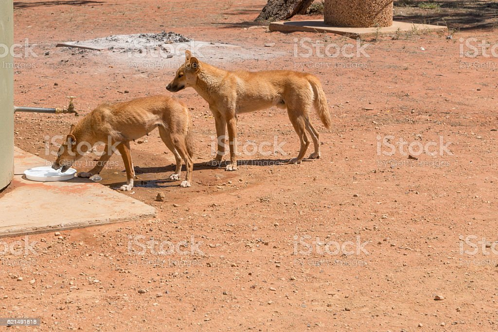 Two wild dingoes drinking water at camp ground foto stock royalty-free