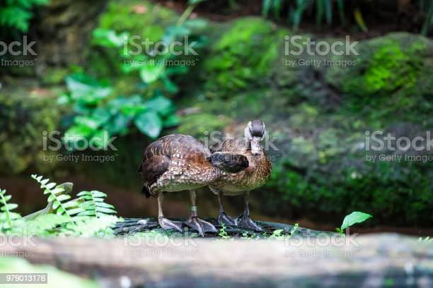 Two wild duck playing each other