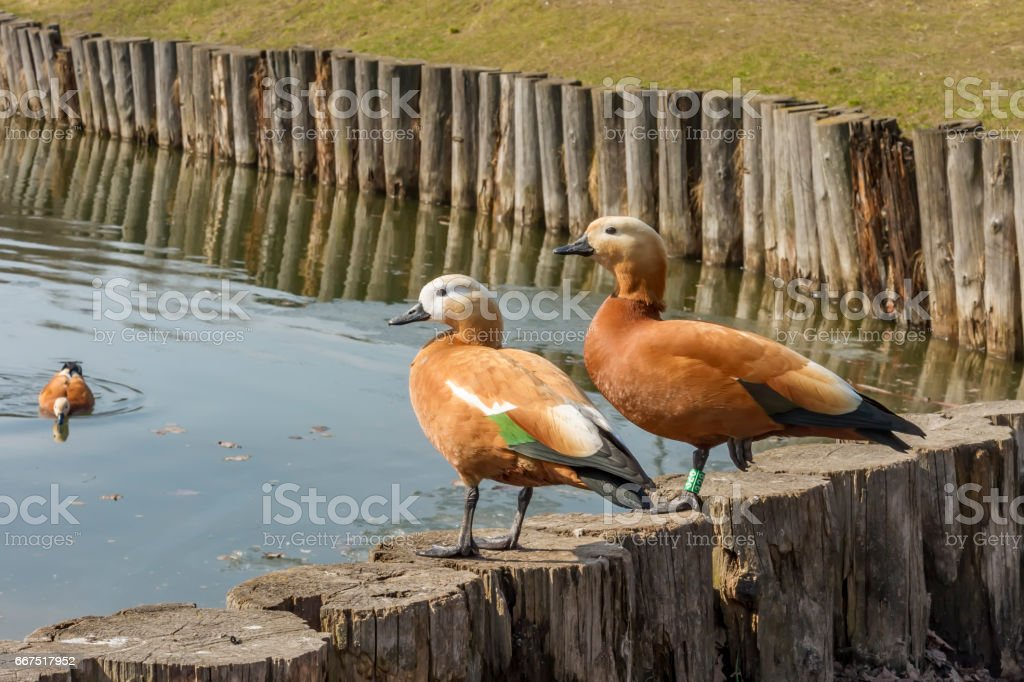 two wild ducks in city park foto stock royalty-free