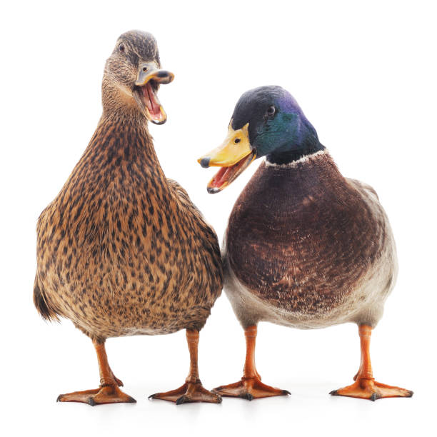 Two wild ducks. Two wild ducks isolated on a white background. drake male duck stock pictures, royalty-free photos & images