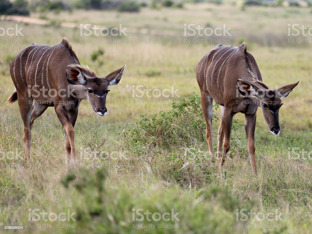 Two Wild Female Kudu stock photo