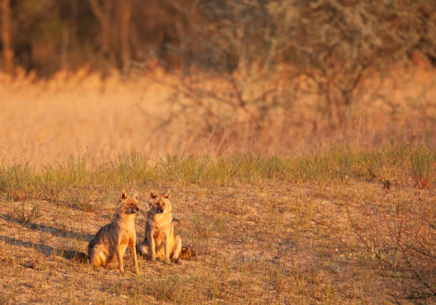 Two wild Golden Jackals, Canis aureus, in early morning sun. Romania.
