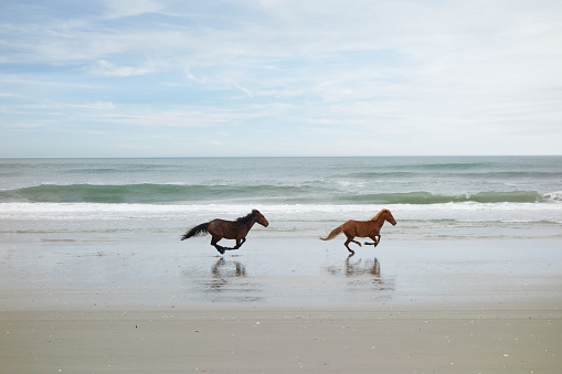 Two wild horses running on the beach in Corolla on North Carolina Outer Banks