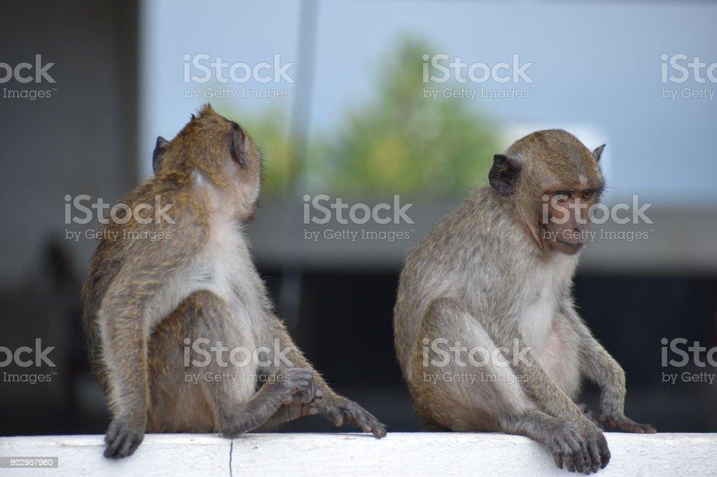 Two wild monkeys at the monkey mountain Khao Takiab in Hua Hin, Thailand, Asia stock photo