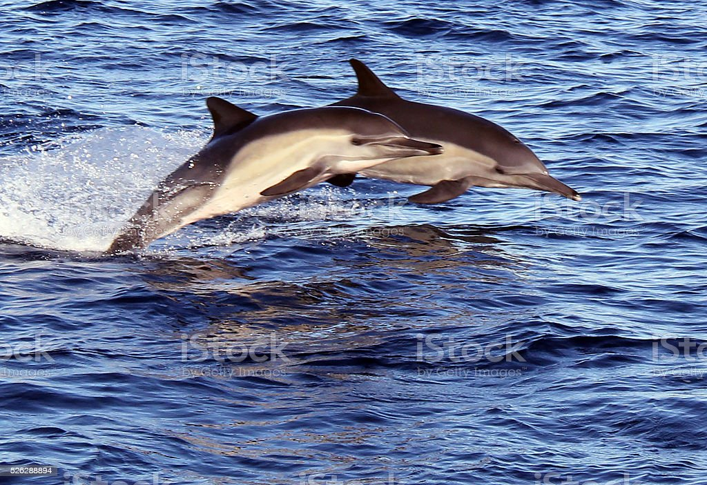 Two Wild Pacific Common Dolphins Jumping stock photo